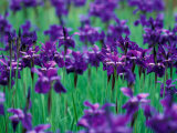 Purple Iris at Weyerhaeuser Rhododendron Display, Washington, USA Photographic Print by William Sutton
