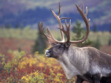 Caribou in Fall Tundra, Denali National Park, Alaska, USA Photographic Print by Howie Garber