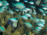 Blue-Green Chromis in Hard Coral, Papua New Guinea Photographie par Michele Westmorland
