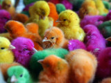 Artificially Colored Chicks Crowd Together Lámina fotográfica