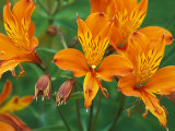 Orange Asiatic Lilies in Town Square, Cannon Beach, Oregon, USA Photographic Print by Jamie & Judy Wild