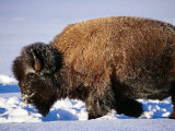 Bison in Snow, Yellowstone National Park, U.S.A. Photographic Print by Christer Fredriksson