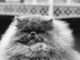 Blue Persian Cat in the National Cat Club Championship at the Olympia Photographic Print