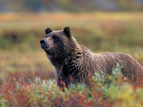 Grizzly Bear Surrounded by Fall Colors of Denali National Park, Alaska, USA Photographic Print by Darrell Gulin