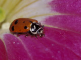 Ladybug Beetle Photographic Print by Adam Jones