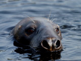 Salty the Seal at Balloch, April 2003 Photographic Print