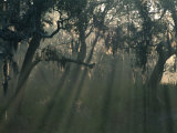 Morning Light Through Oaks in Fog, Savannah, Georgia, USA Photographic Print by Joanne Wells