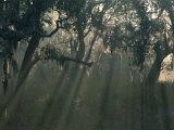 Morning Light Through Oaks in Fog, Savannah, Georgia, USA Photographic Print by Joanne Wells
