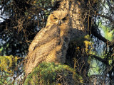 Immature Great Horned Owl in a Spruce Tree, Fairbanks, Alaska, USA Fotoprint van Hugh Rose