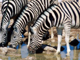 Zebras at Waterhole, Etosha National Park, Namibia Photographic Print by Christer Fredriksson