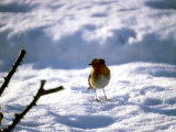Robin in Snow, 1979 Photographic Print