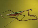Praying Mantis on Twig, Rochester Hills, Michigan, USA Photographic Print by Claudia Adams