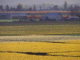 William Sutton - Daffodil Fields, Skagit Valley, Washington, USA - Fotografik Baskı