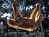 Borneo, Tanjung National Park Orangutan (Pongo Pygmaeus) juvenile stretching out between branches Photographic Print by Theo Allofs