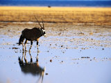 Gemsbock (Oryx Antelope) on Etosha Pan After Rains, Etosha National Park, Namibia Photographic Print by Christer Fredriksson