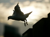 A Dove Flies Away at Sunset Photographic Print