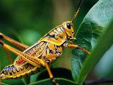 Grasshopper, U.S.A. Fotografisk trykk av Greg Johnston