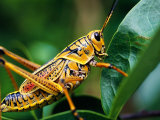 Grasshopper, U.S.A. Photographic Print by Greg Johnston