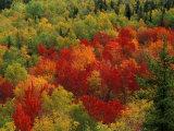 Fall Colors in Wassataquoik Valley, Northern Hardwood Forest, Maine Fotografie-Druck von Jerry & Marcy Monkman
