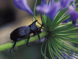 Rhinoceros Beetle, Papua New Guinea Photographic Print by Michele Westmorland