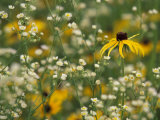 Black-Eyed Susan and Daisy Fleabane Photographic Print by Adam Jones