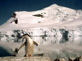 Chinstrap Penguin at Paradise Bay in Antarctica, 1975 Photographic Print