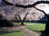 Cherry Blooms at the University of Washington, Seattle, Washington, USA Photographic Print by William Sutton