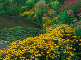 Black-Eyed Susans, Rudbeckia Hirta, and Joe Pye Weed, Holden Arboretum, Cleveland, Ohio, USA Photographic Print by Adam Jones