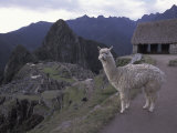 Llama by Guard House, Ruins, Machu Picchu, Peru Photographic Print by Claudia Adams