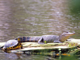 Turtle and Alligator in Pond at Magnolia Plantation, Charleston, South Carolina, USA Photographic Print by Julie Eggers