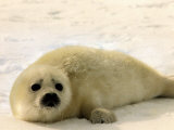 Seal Pup Lying on Snow, 1995 Photographic Print