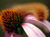 A Fuzzy Caterpillar Inches Along the Top of a Purple Coneflower Photographic Print
