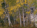 Fall Colors on Aspen Trees, Maroon Bells, Snowmass Wilderness, Colorado, USA Photographic Print by Gavriel Jecan