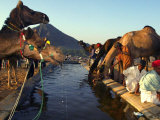 Camel Tradesman Stay Close to Their Livestock as They Drink from a Water Hole Photographic Print