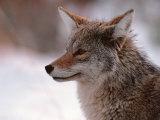Coyote, Grand Teton National Park, Wyoming, USA Fotografisk tryk af Dee Ann Pederson