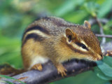 Eastern Chipmunk Lámina fotográfica por Adam Jones