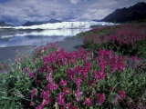 Fireweed Blossoms, Matanuska Glacier, Chugach Range, Alaska, USA Photographic Print by Paul Souders
