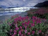 Fireweed Blossoms, Matanuska Glacier, Chugach Range, Alaska, USA Photographic Print by Paul Souders