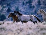 Kiger Mustang Wild Horses, U.S.A. Fotografisk tryk af Mark Newman