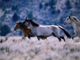 Kiger Mustang Wild Horses, U.S.A. Photographic Print by Mark Newman