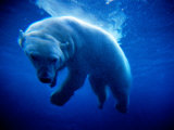 Polar Bear (Ursus Maritimus ) Underwater, U.S.A. Photographic Print by Mark Newman
