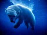 Polar Bear (Ursus Maritimus ) Underwater, U.S.A. Photographic Print by Mark Newman