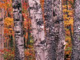 Forest Landscape and Fall Colors on Deciduous Trees, Lake Superior National Forest, Minnesota, USA Photographic Print by Gavriel Jecan