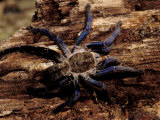 Cobalt Blue Tarantula Photographic Print by Claudia Adams