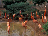 Flamingos at Forest Park, St. Louis Zoo, St. Louis, Missouri, USA Photographic Print by Connie Ricca