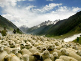 Gujjar Nomadic Shepherds Herd Their Sheep on the Outskirts of Srinagar, India Lámina fotográfica