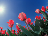 Red Tulips, Cincinnati, Ohio, USA Photographic Print by Adam Jones