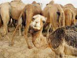 A Baby Camel Stands by as Older Ones Feed Near the Mauritanian Capital Nouakchott Photographic Print
