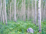Aspen Grove in McClure Pass, Colorado, USA Photographic Print by Julie Eggers