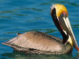 Male Brown Pelican in Breeding Plumage, Mexico Reproduction photographique par Charles Sleicher